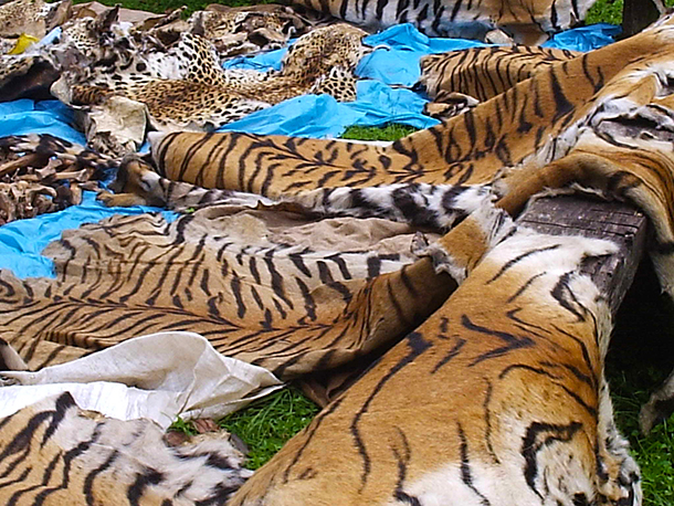 Seizure by the army in Langtang, Nepal, Sept 2005 including 5 tiger skins and 113 kg of bones. © Chapagain D./Wildlife Conservation Nepal