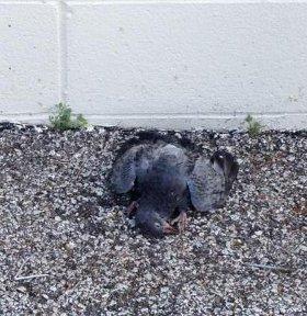 Injured Pigeon