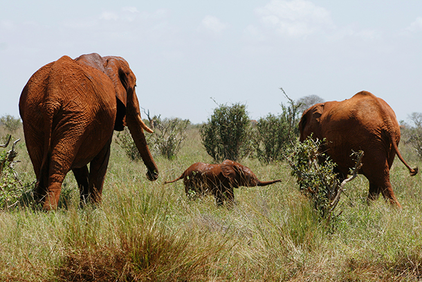 African Elephants with a young calf in Tsavo East National Park, Kenya. ©IFAW/F. Onyango