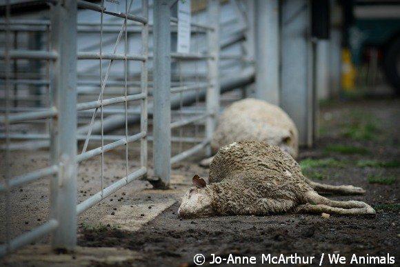 lambs die