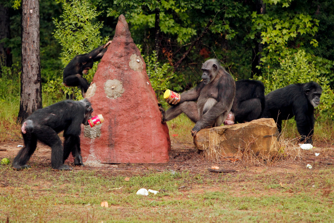 10 Ways These Historic Chimps Are Enjoying Retirement