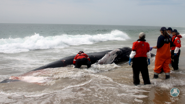 The author, IFAW veterinarian Sarah Sharp, necropsy coordinator Misty Niemeyer and other IFAW staff members attend to the first stranded whale.