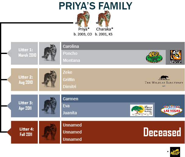 A family tree tracing four of Priya's litters shows where her cubs ended up after being rescued.