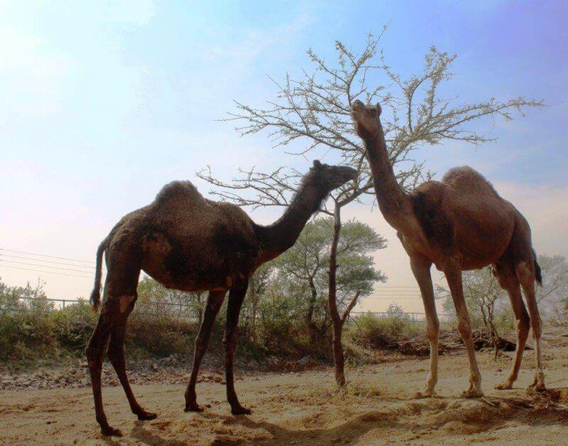 Osher and Audrey the Camels - Osher Gunsberg