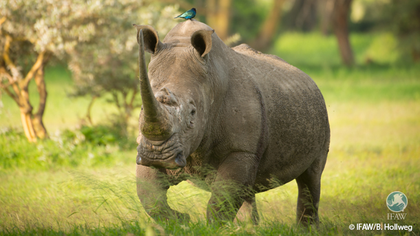 Swaziland has proposed to alter the existing annotation on the Appendix II listing of Swaziland's white rhino to permit a limited and regulated trade in white rhino horn.