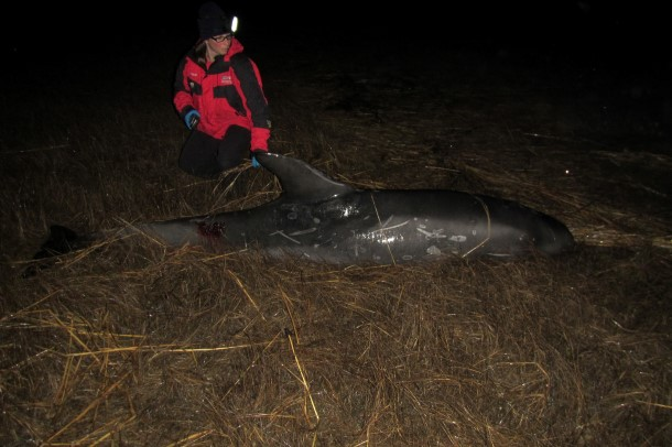 When responders reached the dolphin, it was quite calm considering how long it had been likely stranded.