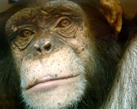It's Time to Ban Research on Chimpanzees