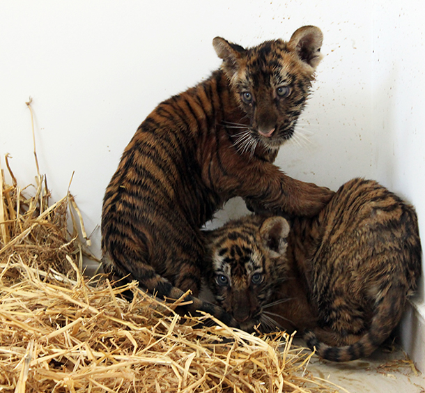 Jordanian Customs discovered two men attempting to smuggle two live tiger cubs from Saudi Arabia to Jordan through Al-Omari entry point. The cubs were found in a taxi supposed to enter Jordan. Cubs have been confiscated by the Customs officials and moved them to Princess Alia Foundation for care.