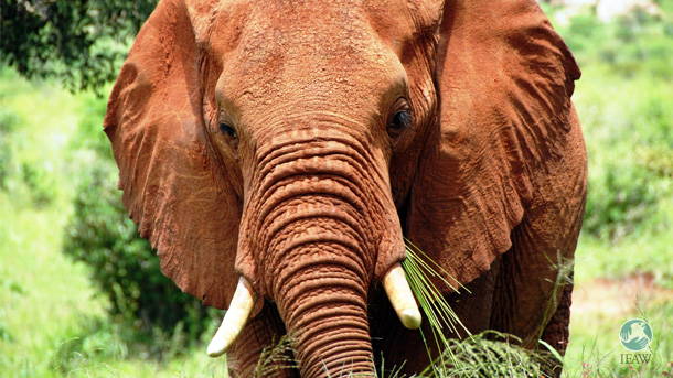 Dying the tusks of elephants, like the one pictured above, would be a futile endeavor.