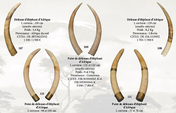 Auction houses can be used to facilitate the sale of illegal ivory objects. Auctioneers must ensure that they are not indirectly aiding traffickers by proposing the sale of ivory lots.