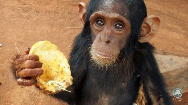 The International Fund for Animal Welfare (IFAW) is helping the Chimpanzee Sanctuary to charter a plane from their headquarters in Uganda to rescue these chimpanzees before it's too late.