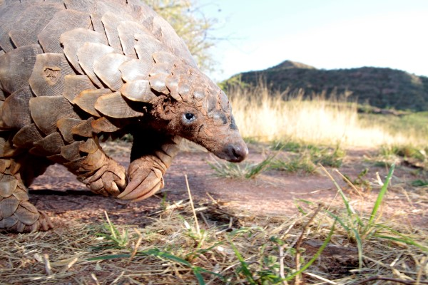 Earlier this week, a score of countries submitted proposals to transfer pangolins to Appendix I .