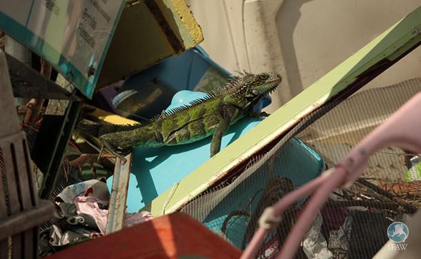 iguana finds trash after hurricane irma hits the us virgin islands