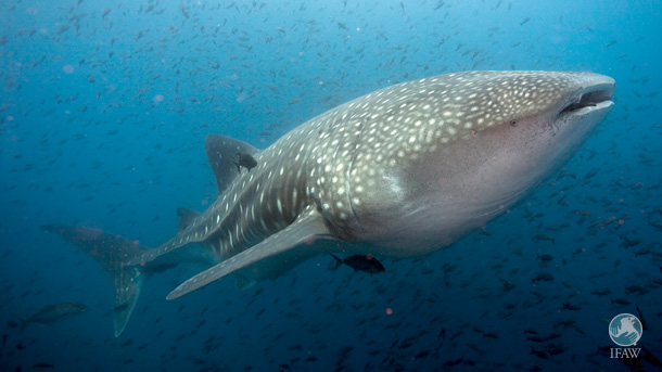 Once hunted extensively off the state of Gujarat, the whale shark came to be known as 'Vhali' –meaning loved one—and spectacular events provided public participation and groundswell.