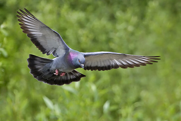 The sought after subject of pigeon shoots. Photo credit Alan D. Wilson + Wikimedia Commons