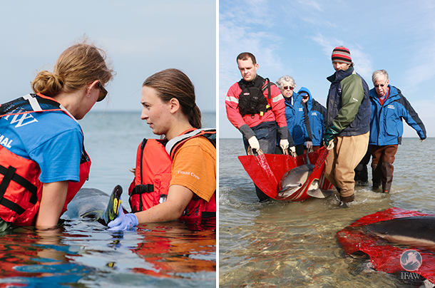 IFAW team rescues stranded dolphins off cape cod ma