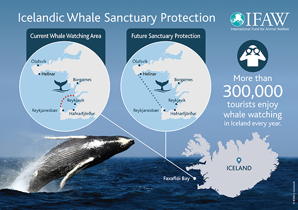 Today, only a small fraction of the bay is designated as a whale watching area but all hunting of minke whales takes place inside the bay.