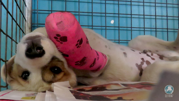 Young Bruno rolls on his back, playing in his cage while recovering at CLAW from his de-gloving injury.