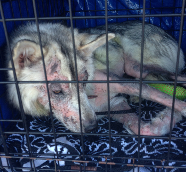Before: Phillie's mange prompted a local vet to recommend her euthanization.