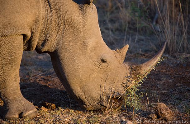 african rhino in south africa