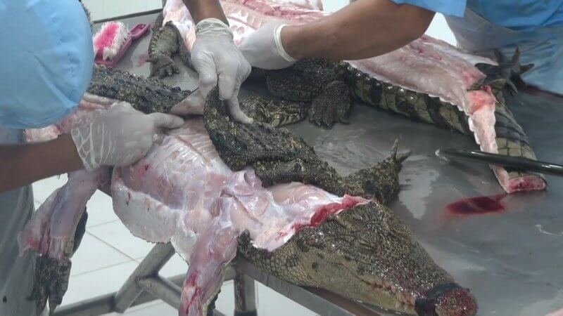 vietnam_crocodile_skin_trade_investigation_screenshot_12