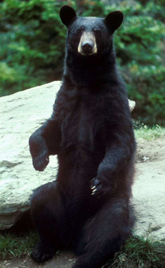 Maine Voters: Vote yes on Question 1 to end  inhumane black bear hunting and trapping. Photo source: Wikipedia