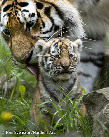 A life of freedom for our six Russian tigers