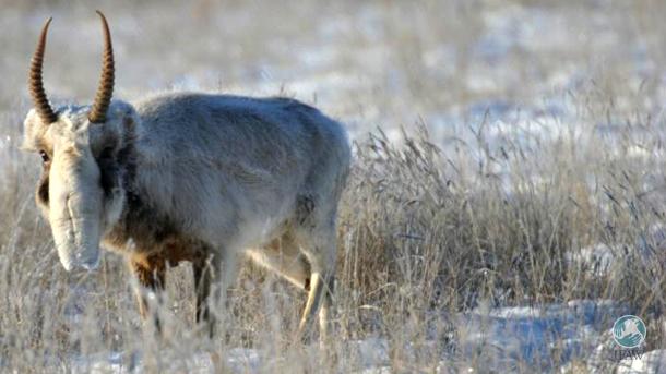 Stepnoy Sanctuary staff observe saiga antelopes in rutting season.