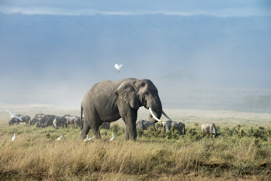 On most evenings, a long line of elephants can be seen leaving Amboseli National Park en route to OOGR where they stay for the night only to return to the park in the morning. Photo by Eva-Lotta Jansson.
