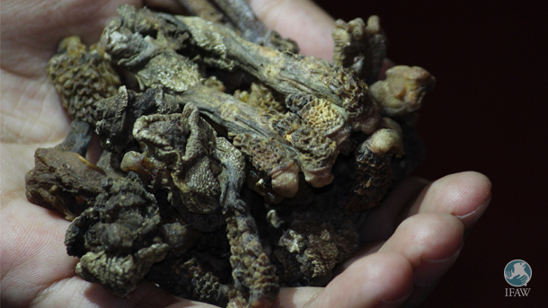 Hatha Jodi looks like a rare root, but it is in fact a hemi penis of the monitor lizard, which is cut off and dried carefully to give it its distinct clenched hand look.