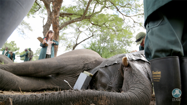 One of the orphan elephants receives a health exam while it is under anesthesia and collared.