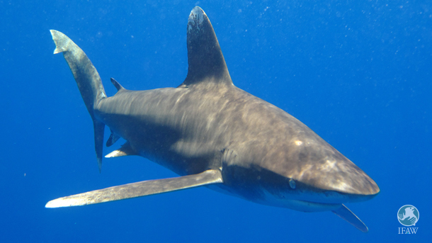 silky shark swims in the gulf of mexico