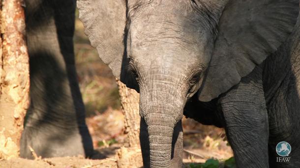 wild elephant calf at kasungu national park