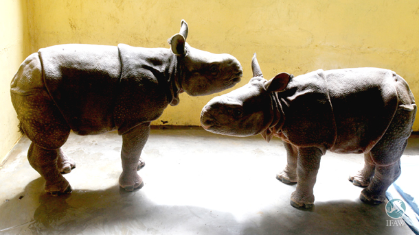 two rescued rhino calves at CWRC