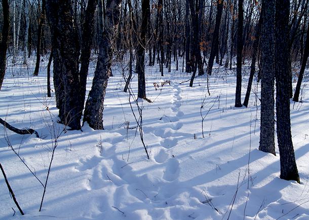 Tiger tracks help us follow Borya and Svetlaya.
