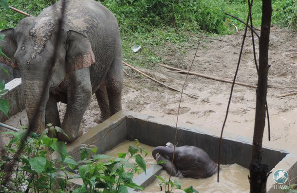 An elephant calf struggles to get out of a water tank near a village near the outer edge of Pakke Tiger Reserve in the northeastern state of Arunachal Pradesh.