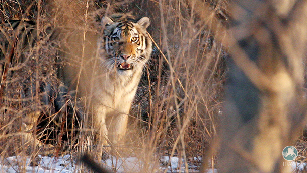 rescued amur tiger in the russian far east