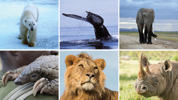 IFAW waged successful campaigns on numerous political fronts, from international convention listings and proposals to national legislative and policy wins, to benefit animals.