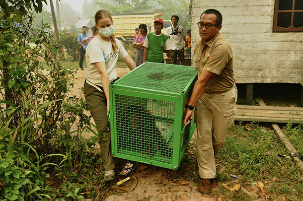 The author helping to move some of the wildlife victims in Borneo.