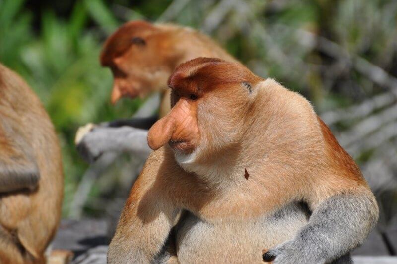 Long Nose Monkey