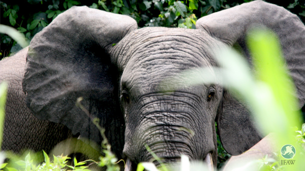 IFAW conducted a field assessment of Cote d'Ivoire forest elephants in 2012 and spearheaded their relocation in early 2014.