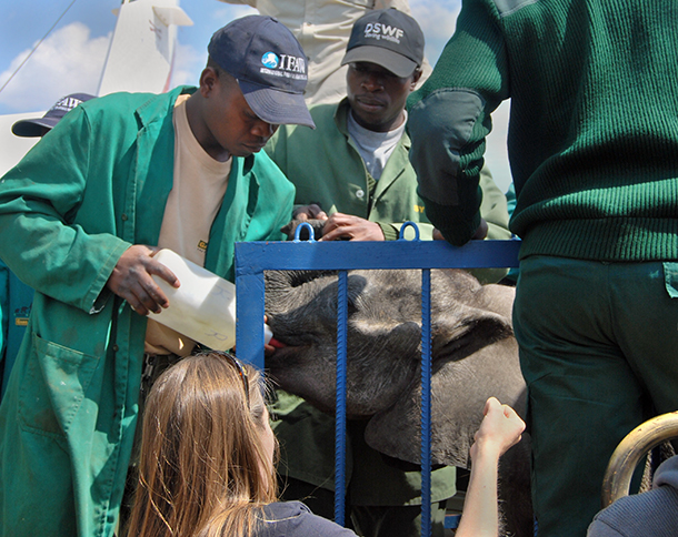 Ntubya being fed in her travel crate as she arrives at Lilayi Elephant Nursery.