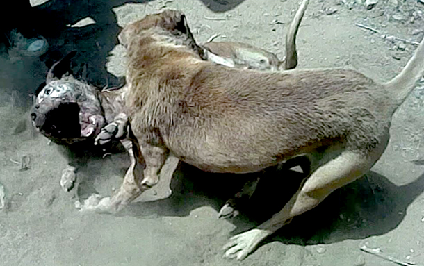 Footage of actual dog fights filmed by CLAW investigators.
