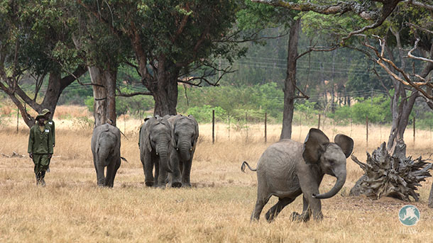 Trained keepers walk with calves at Zimbabwe Elephant Nursery (ZEN).