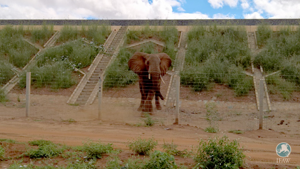 Elephants like the one pictured above have gotten caught between the embankments and the fences.