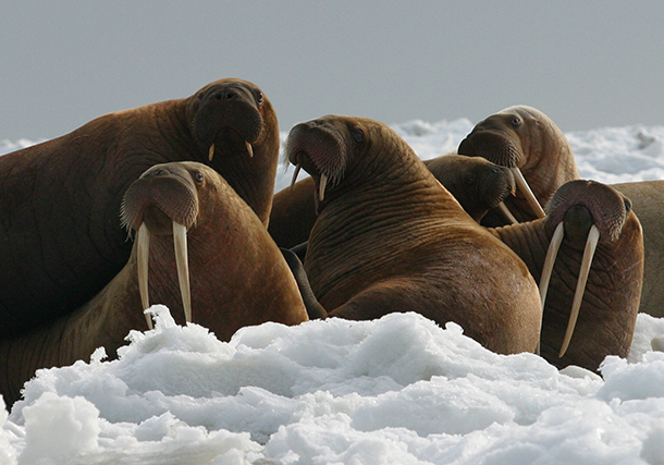 Warming temperatures have already devastated thousands of species, including walrus.