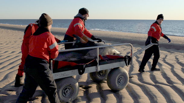On Cape Cod, most stranded dolphins are successfully released back to the wild.