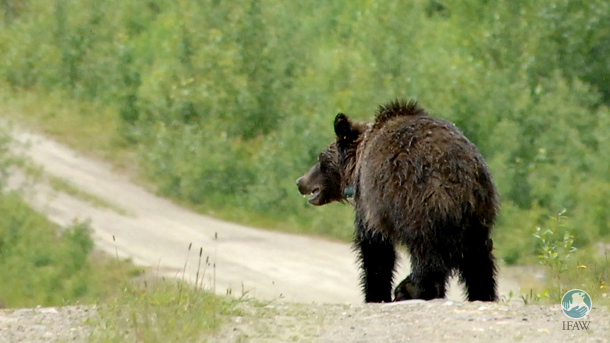 While grizzly bears have undeniably recovered from near extinction, removing ESA protection is premature. PHOTO: © IFAW/S. Cook