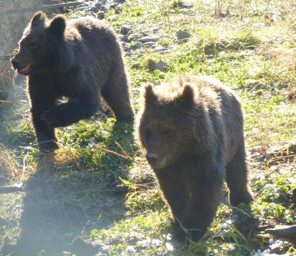 Two grizzly cubs, rescued near the Kitimat River in BC, have found sanctuary until they are ready to be released back to the wild.