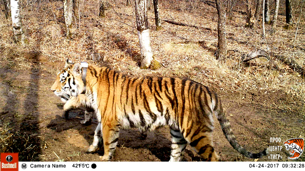 The tiger cub behind a still-collared Svetlaya is the latest evidence that rehabilitated Amur tigers can be returned to the wild and produce offspring.
